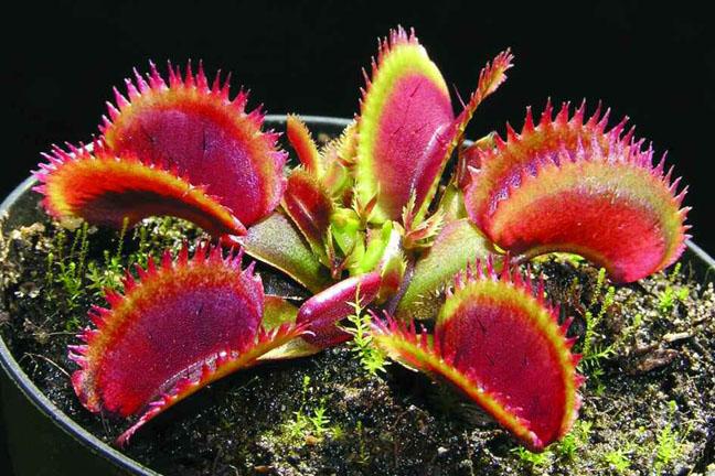 Dionaea Bohemian Garnet x Red Piranha