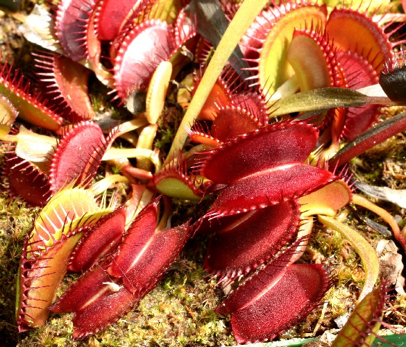 carnivorous plant photo finder